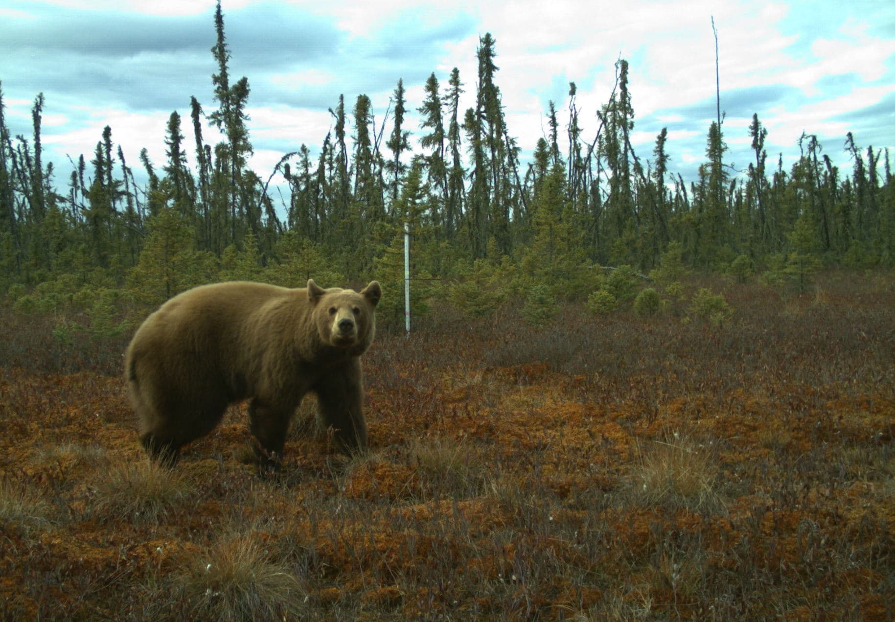 A grizzly bear captured by wildlife monitoring cameras.