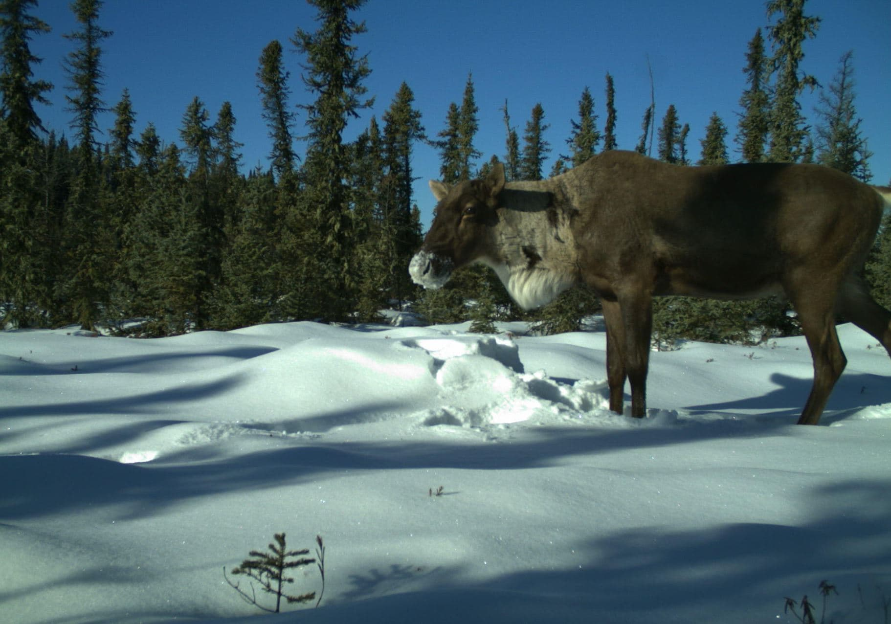 A caribou captured by wildlife monitoring cameras.