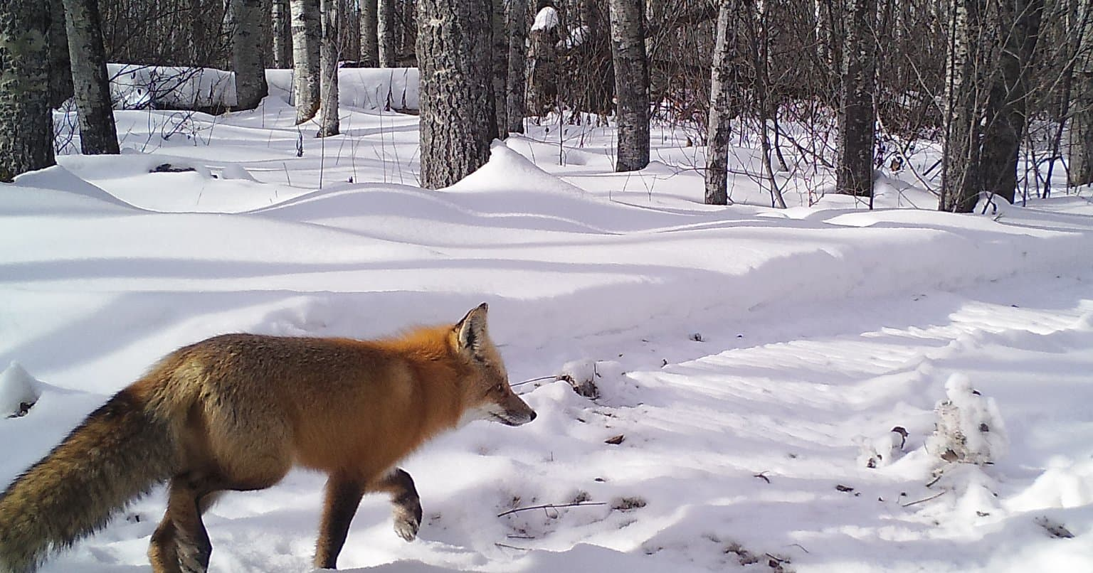 A fox captured by one of our wildlife monitoring cameras.