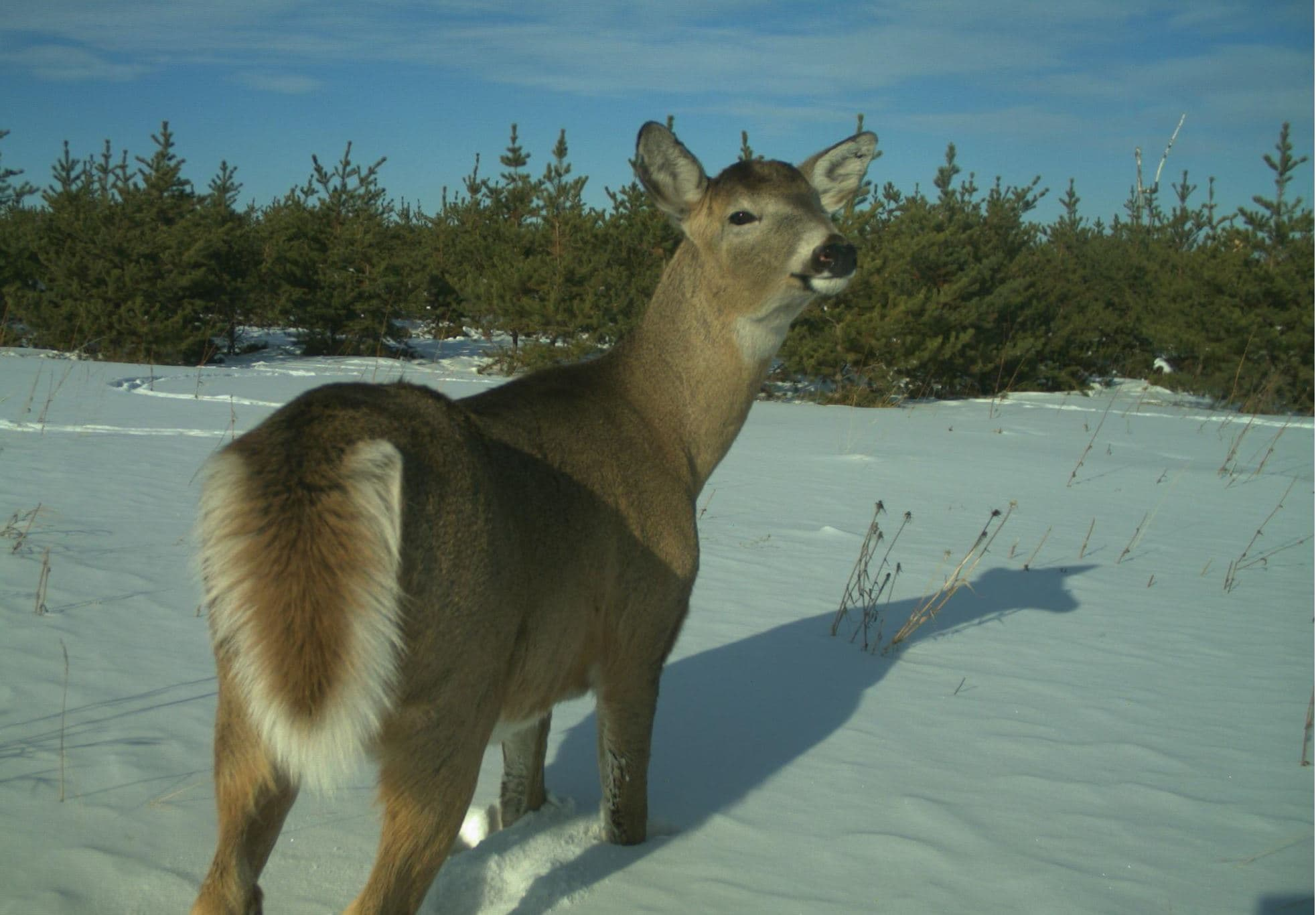 A white-tailed deer captured by wildlife monitoring cameras.